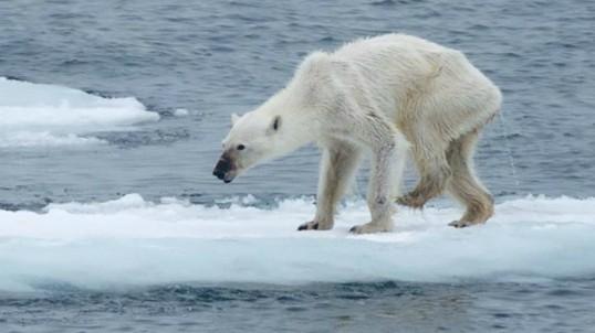 polar-bear775590434